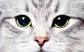 methods of cat chiropractors