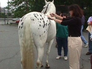 horse chiropractic treatment