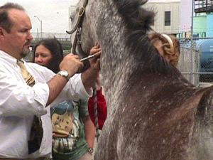 chiropractic treatment on a horse by Dr. Inman